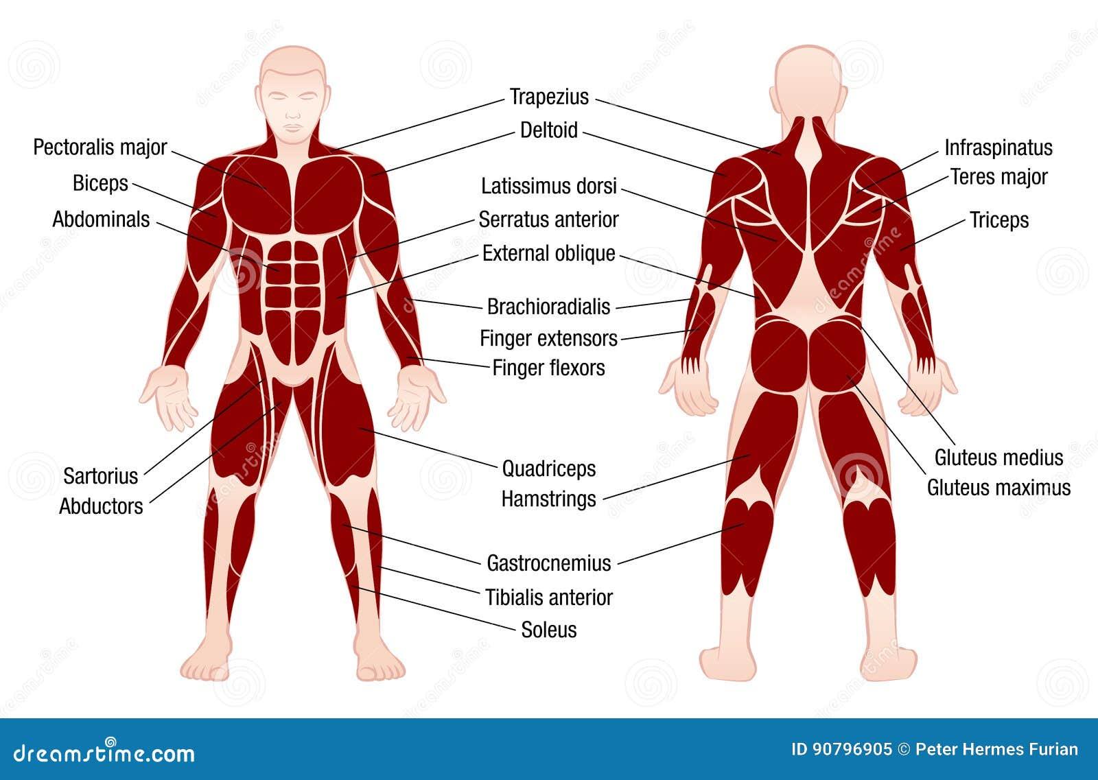 Muskel-Diagramm-Beschreibungs-muskulöser Körper-Mann Vektor ...