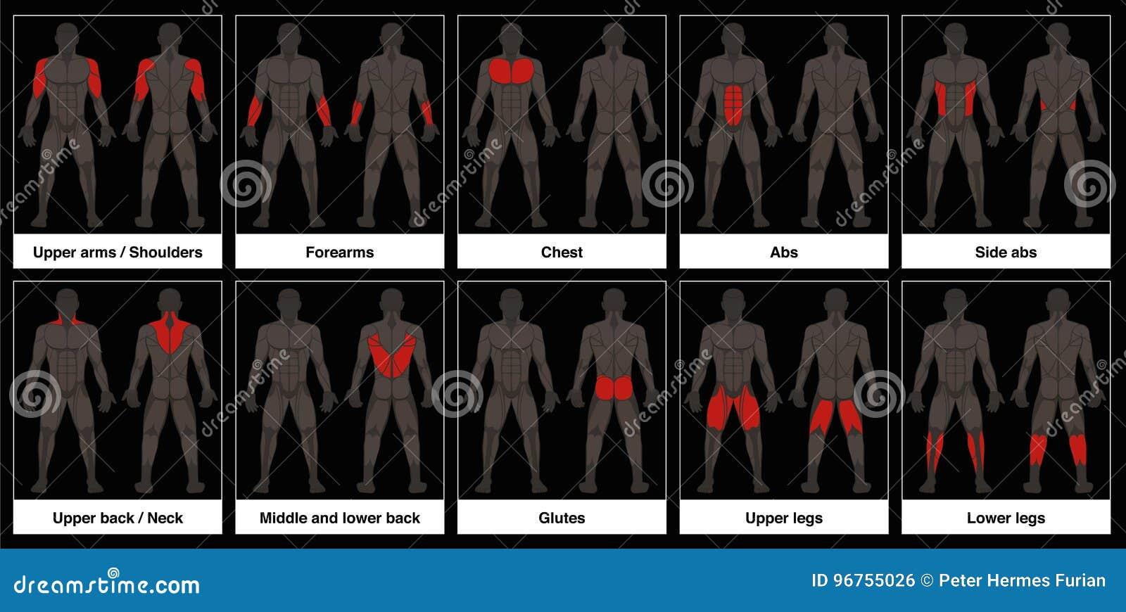 Muskel-Diagramm-männliche Körperteil-schwarzer Hintergrund Vektor ...