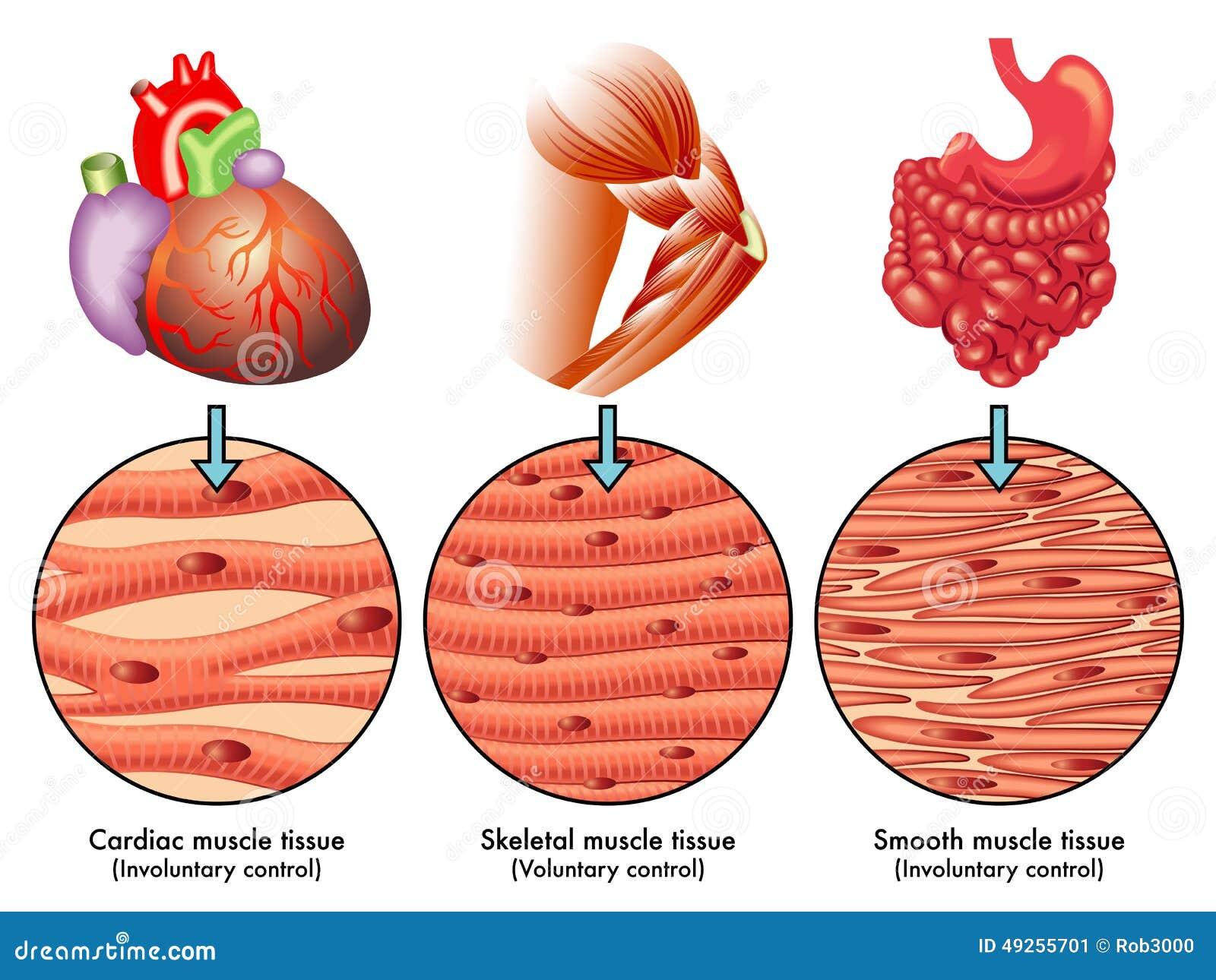 Muskel-Gewebe stockbild. Bild von aktivität, herz, gestreift - 49255701