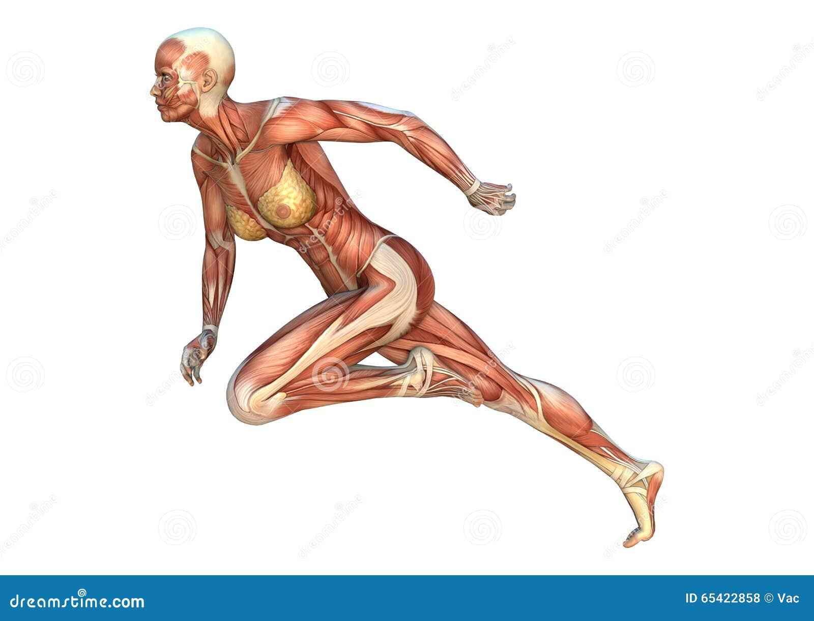 Muskel zeichnet Frauenfigur auf