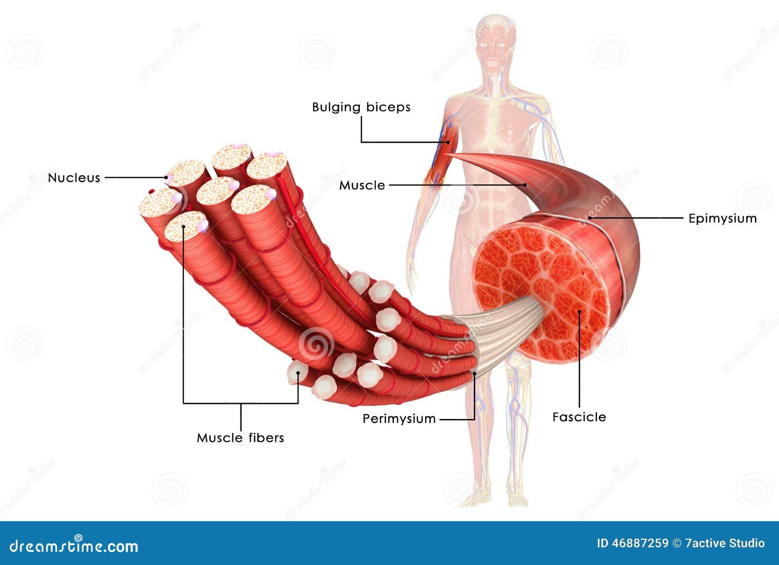 Muskelanatomie stock abbildung. Illustration von faser - 46887259