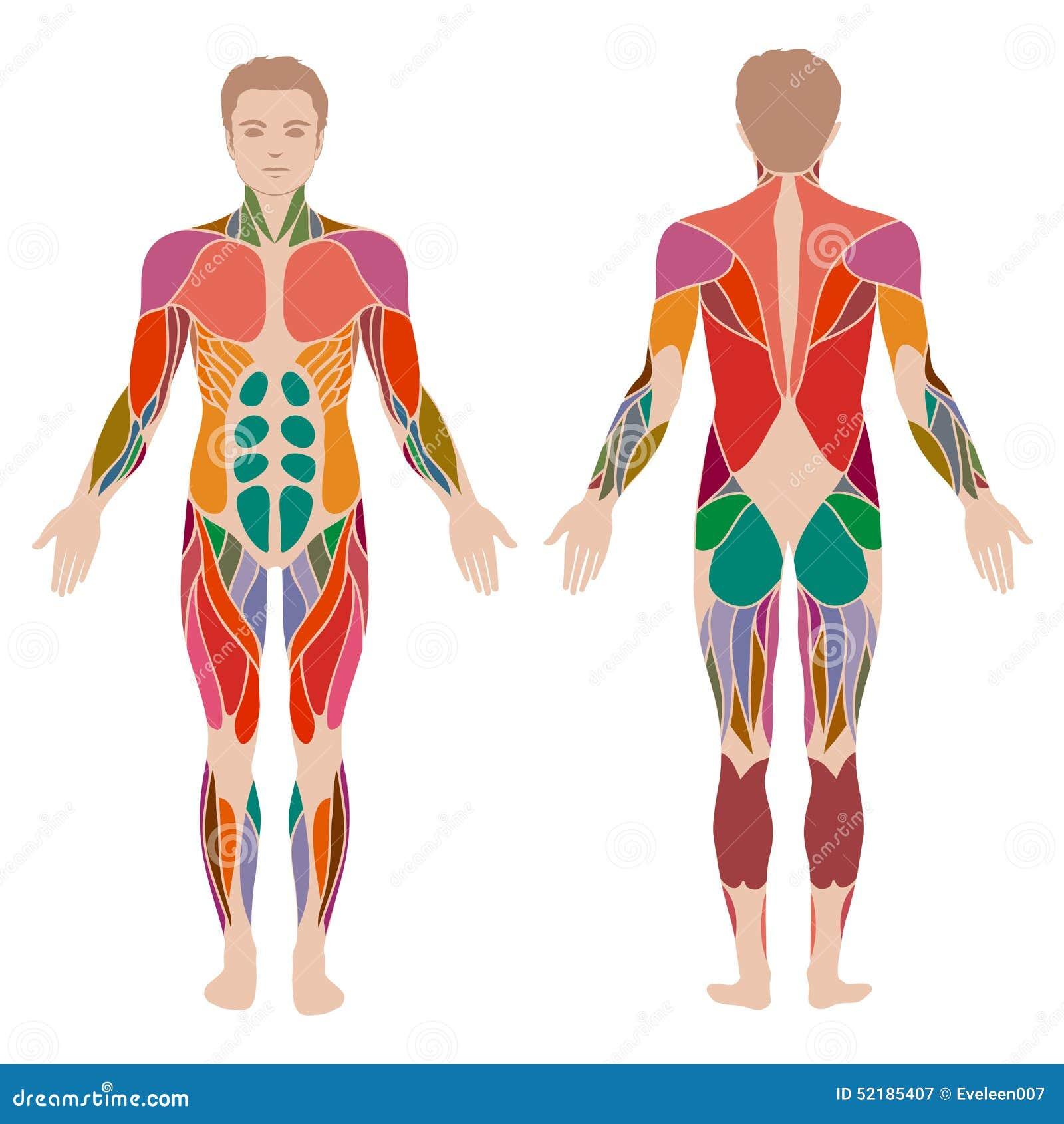 Muskelmananatomi,