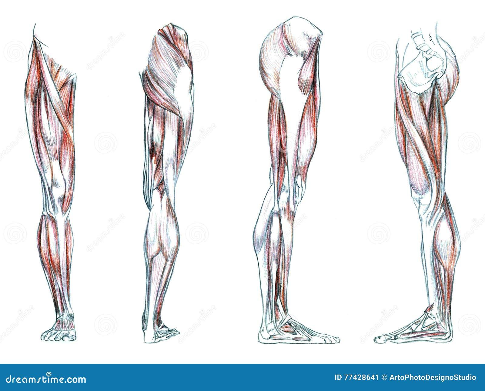 Atemberaubend Anatomie Der Rückseite Des Beines Fotos - Menschliche ...