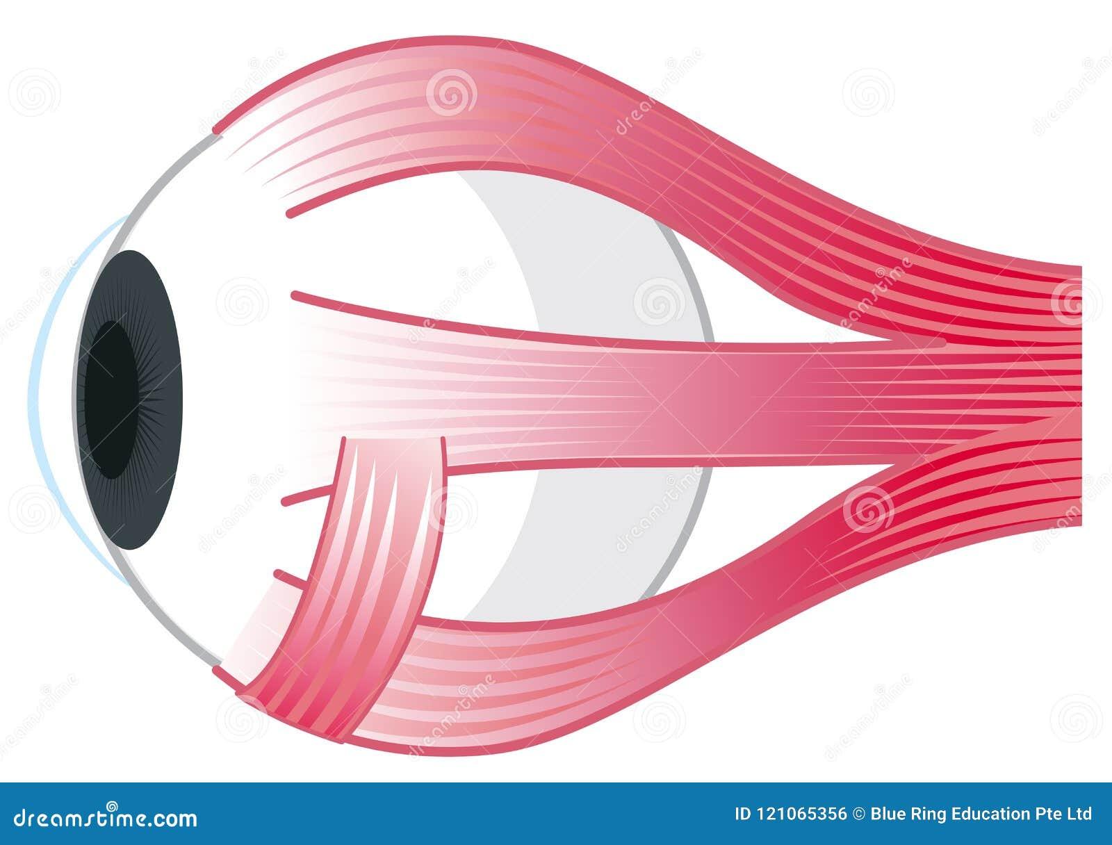 Muskelstruktur des Auges