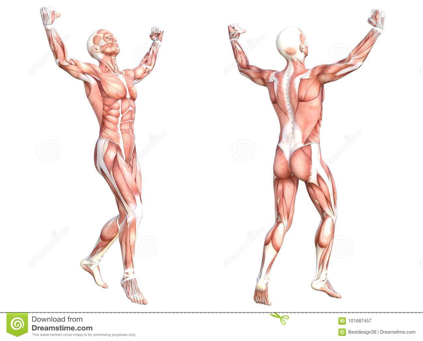 Muskelsystem Des Menschlichen Körpers Der Anatomie Gesundes ...