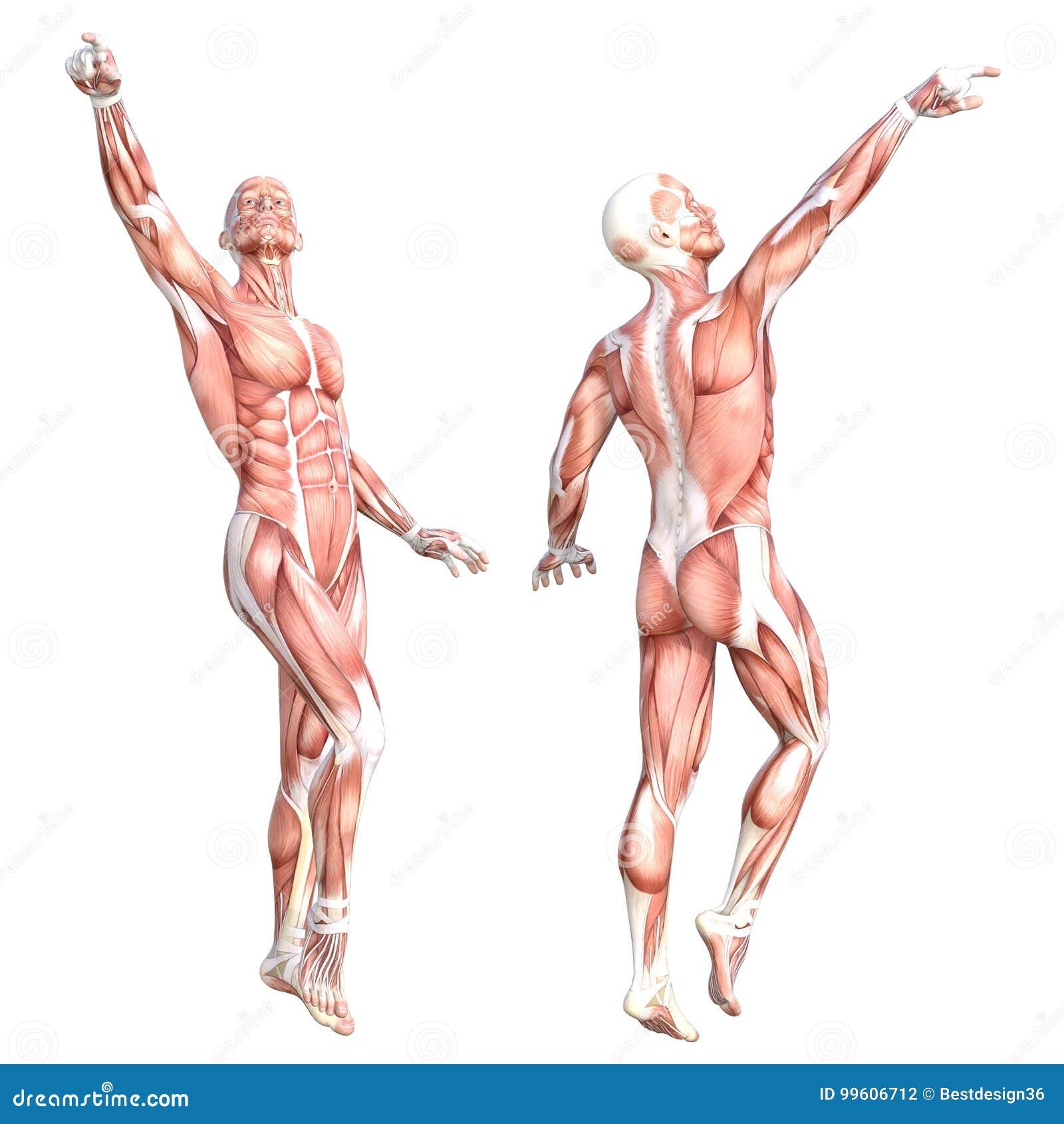 Muskelsystemsatz Des Menschlichen Körpers Der Anatomie Gesunder ...