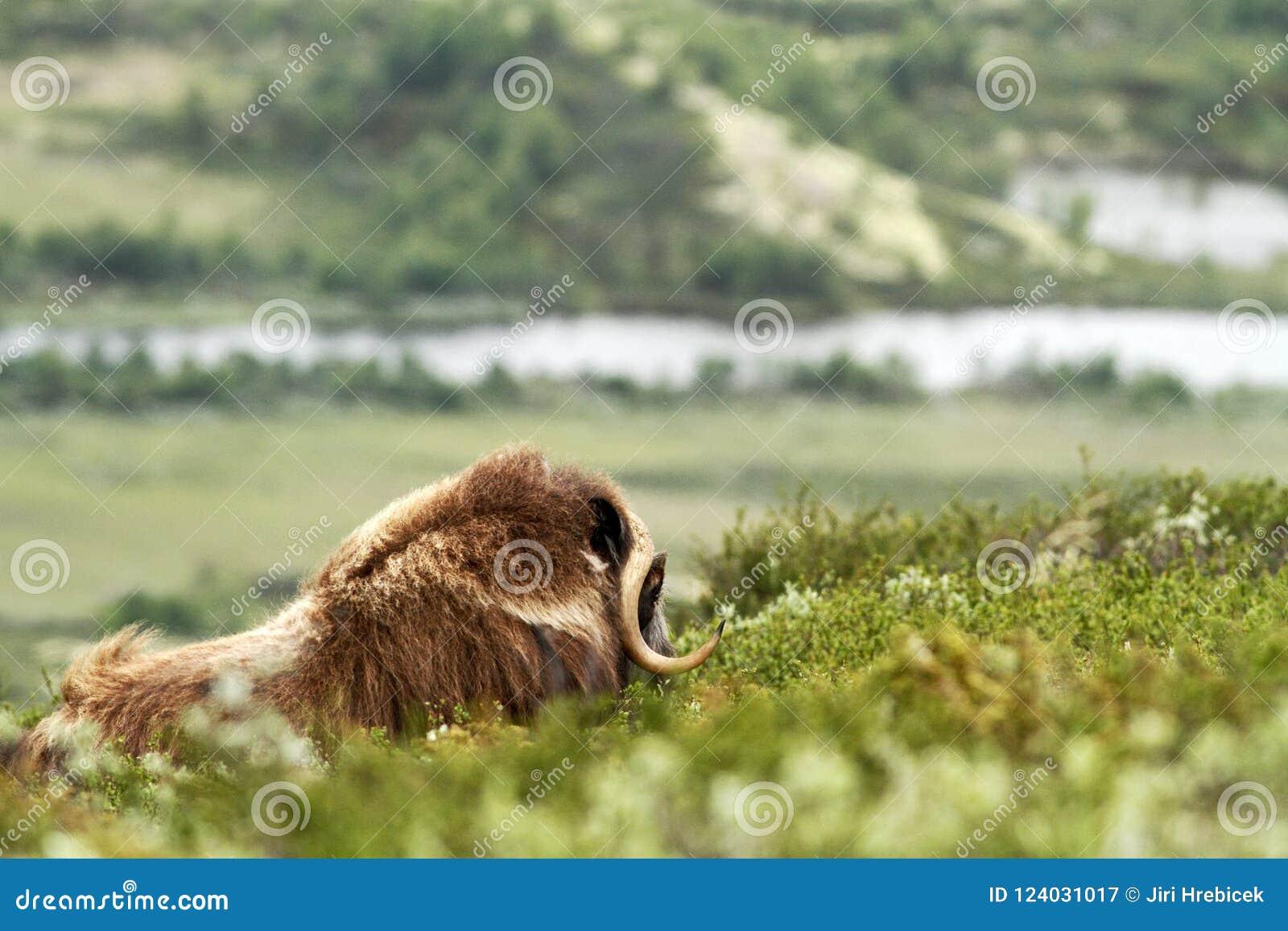 Muskox麝牛moschatus 平安地说谎在草的麝牛公牛在格陵兰 强大狂放的野兽阴云密布,与垫铁的大动物