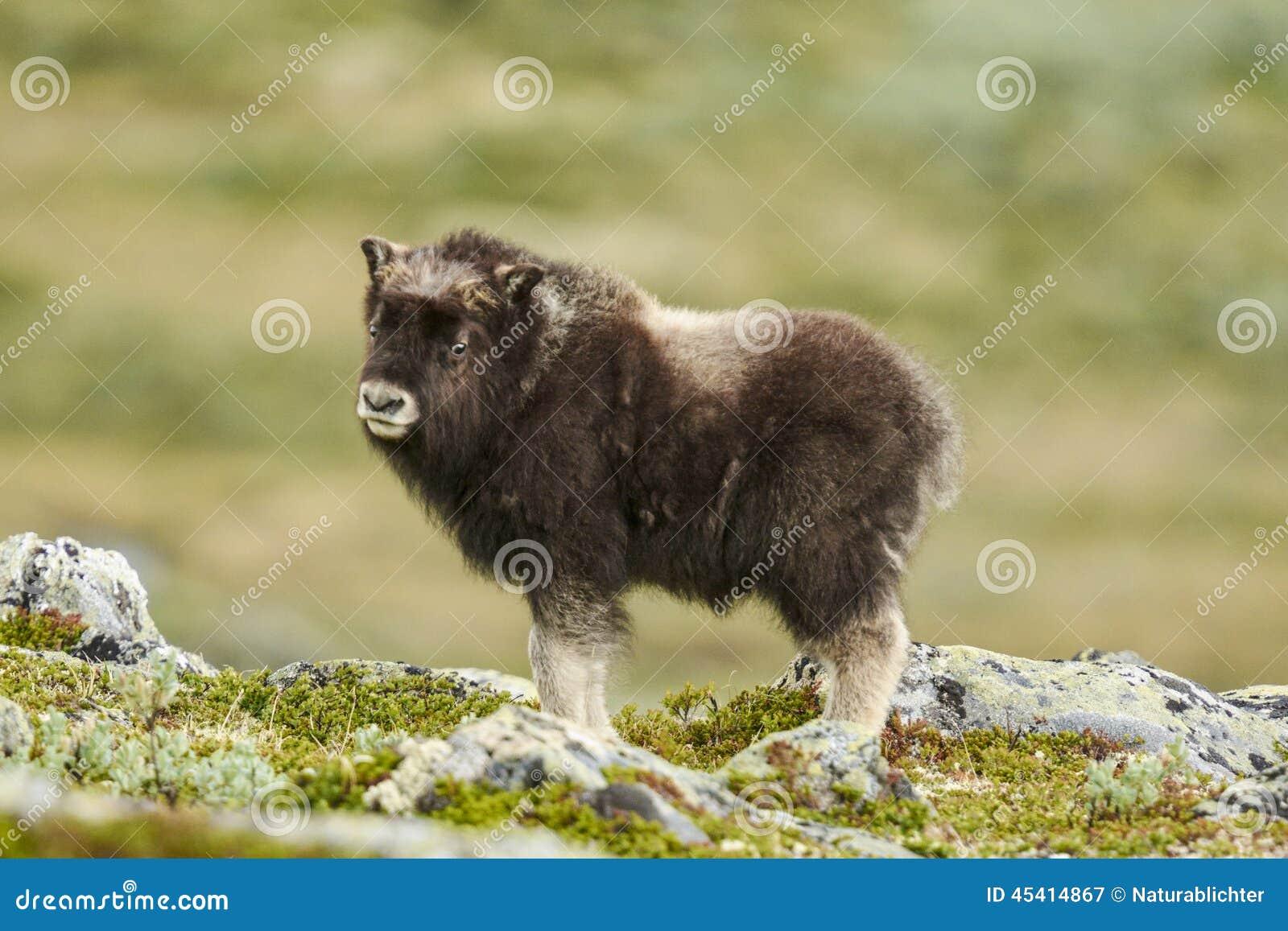 Muskox άγονο tundra
