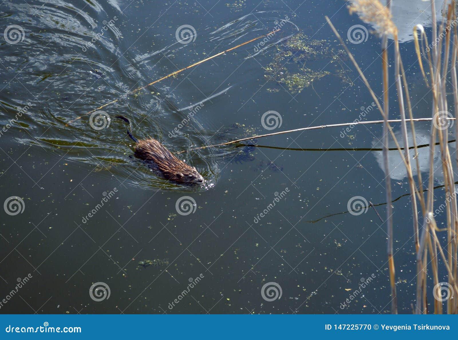 Muskrat που κολυμπά σε μια λίμνη