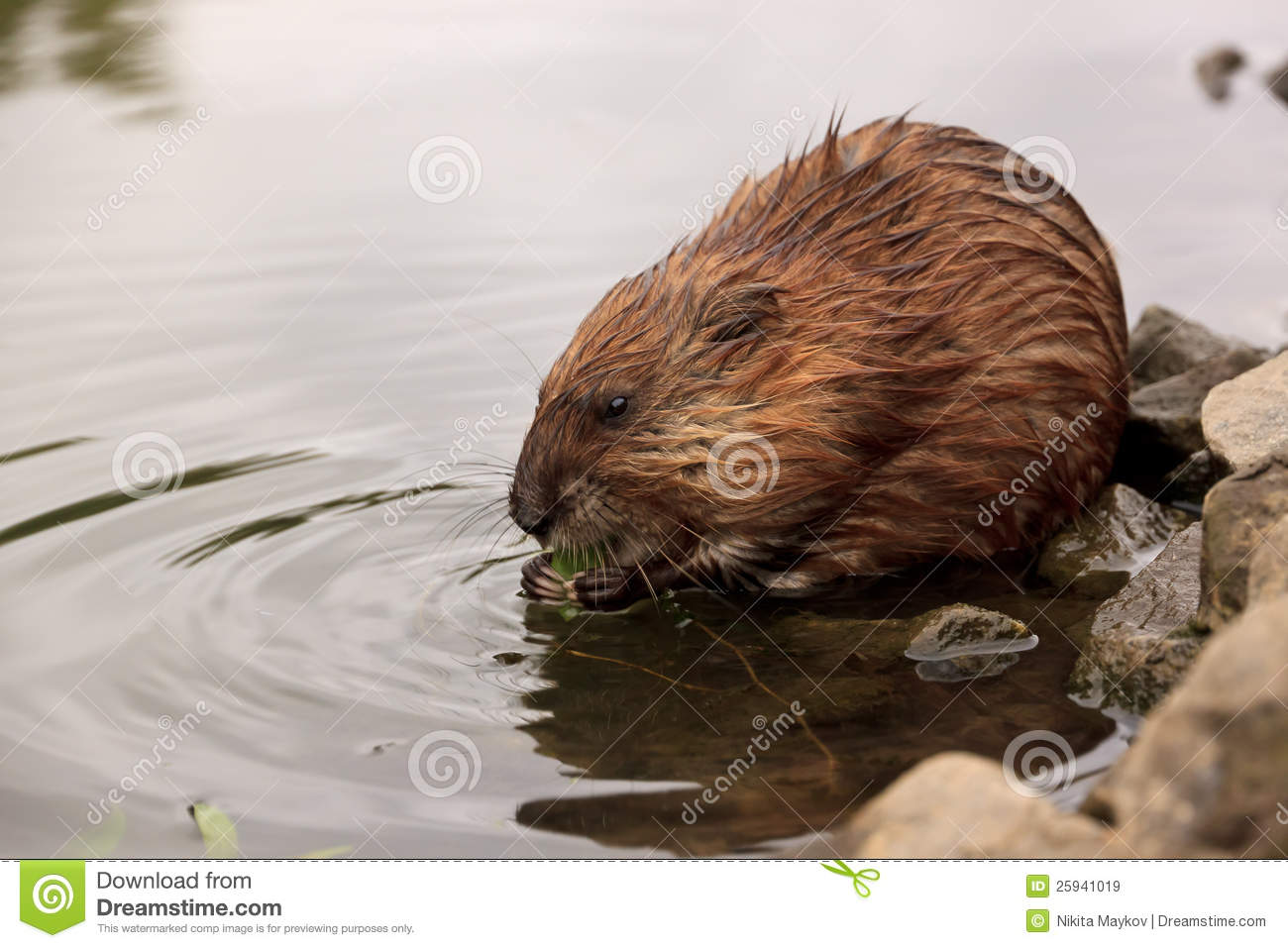Muskrat Royalty Free Stock Images - Image: 25941019