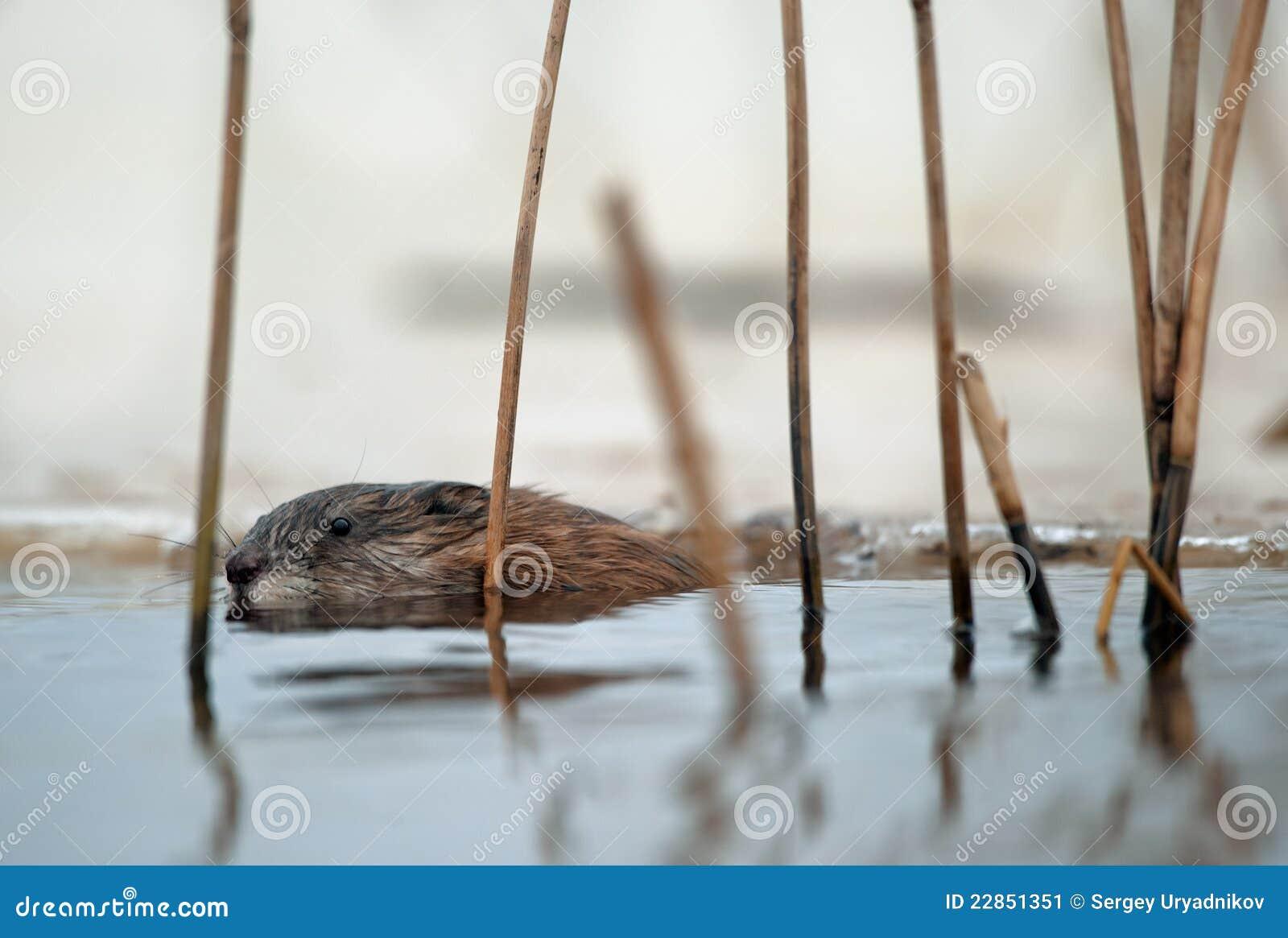 Muskrat da natação