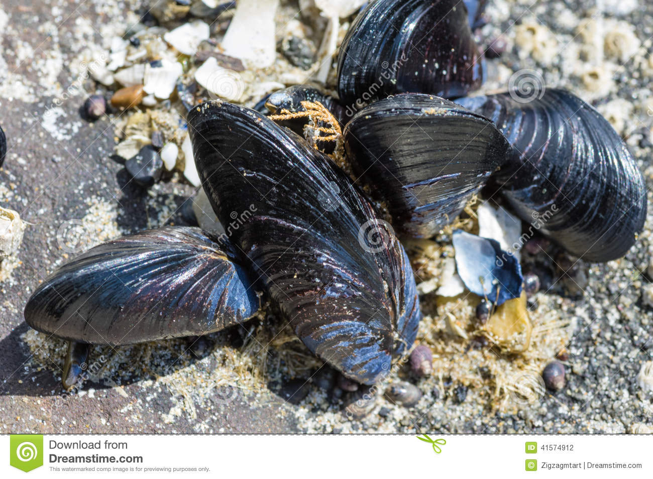 Effect of ocean acidification on shellfish depends on ...  Mussels In Ocean