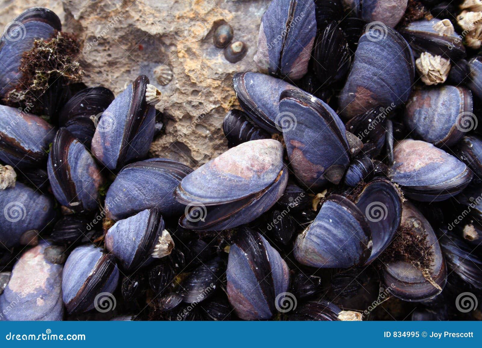 Mussels Closeup