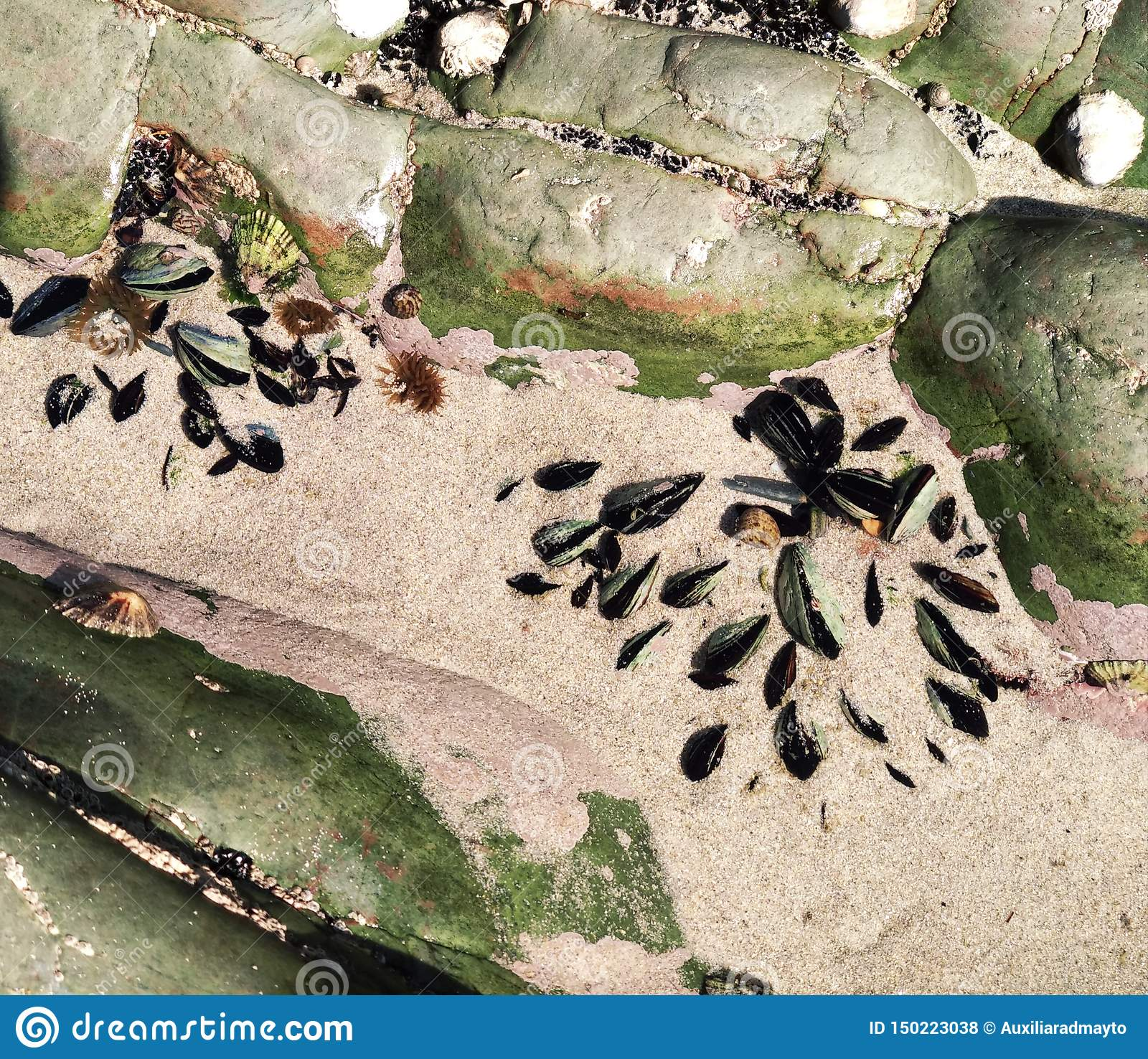 Mussels growing on the rocks at the seashore