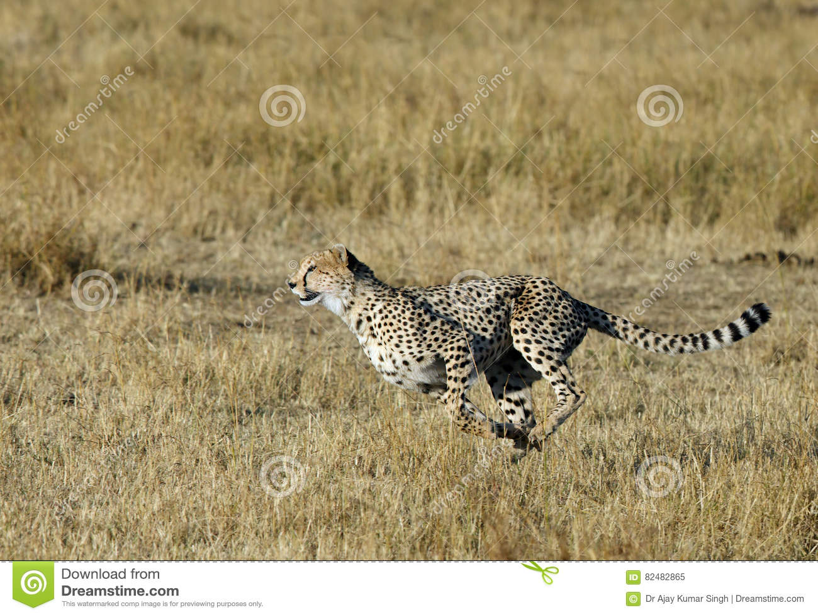 Mussiara que esprinta para cazar un ñu