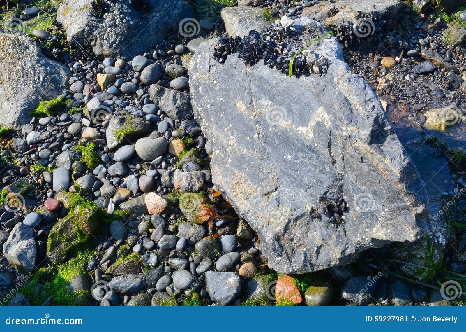 Mussles de sequía en roca