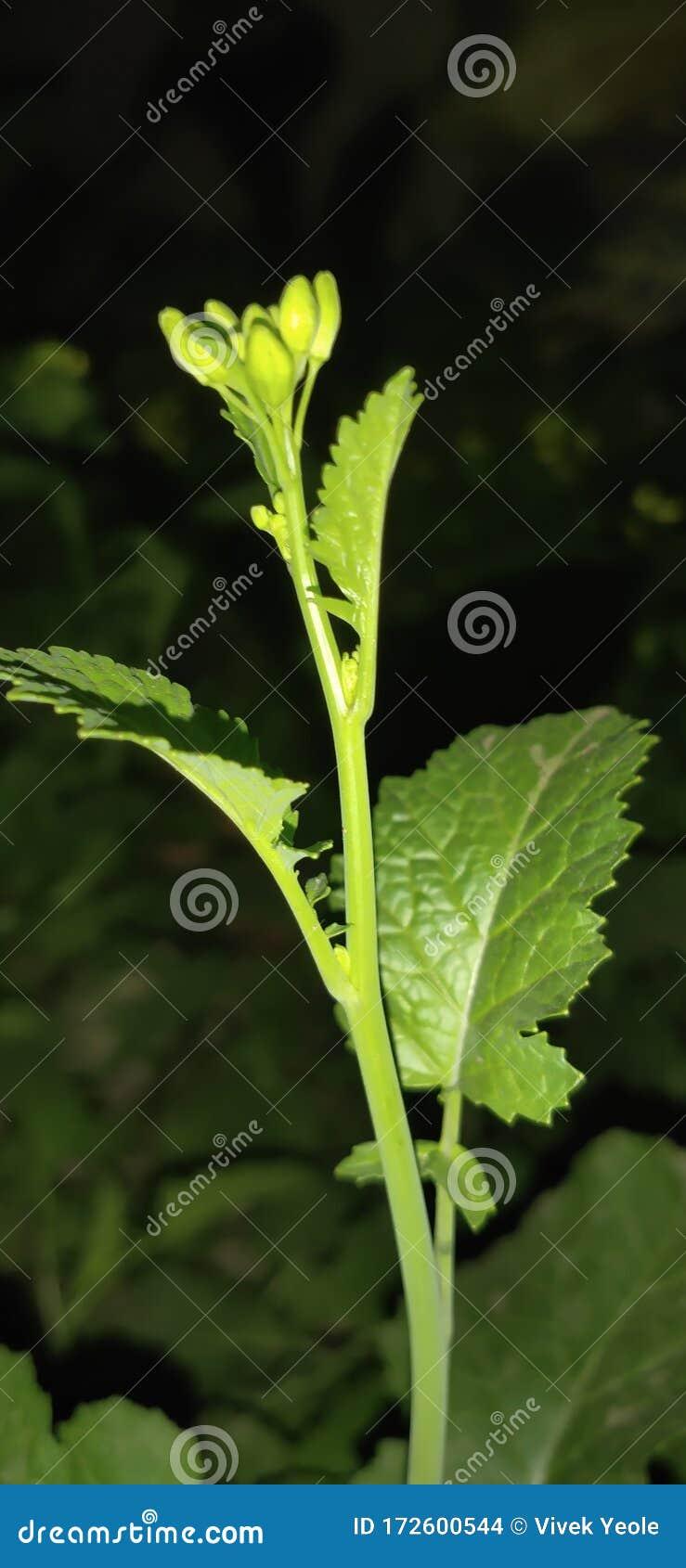 Mustard Tree Grean Leaf Natural Beautiful Green Color ... |Mustard Tree Leaf