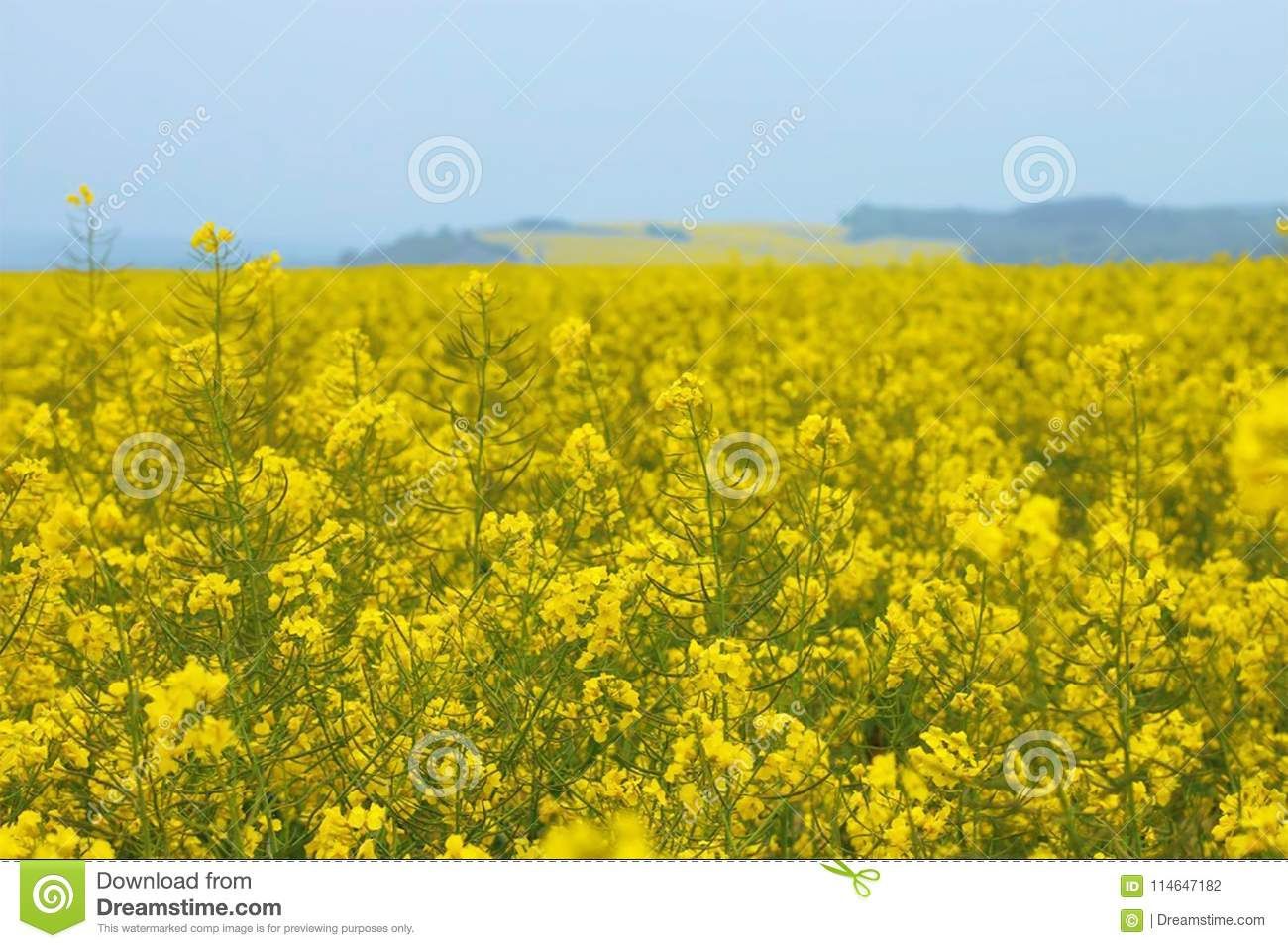 Mustard filed , Mustard farm , Mustard garden , Mustard farm in Luxembourg , Europe