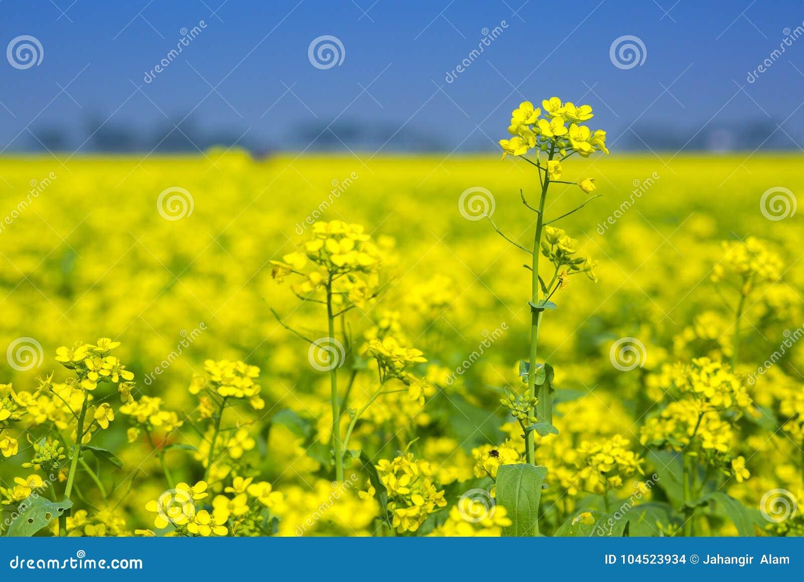 Mustard flower field is full blooming stock photo image of flower download comp mightylinksfo