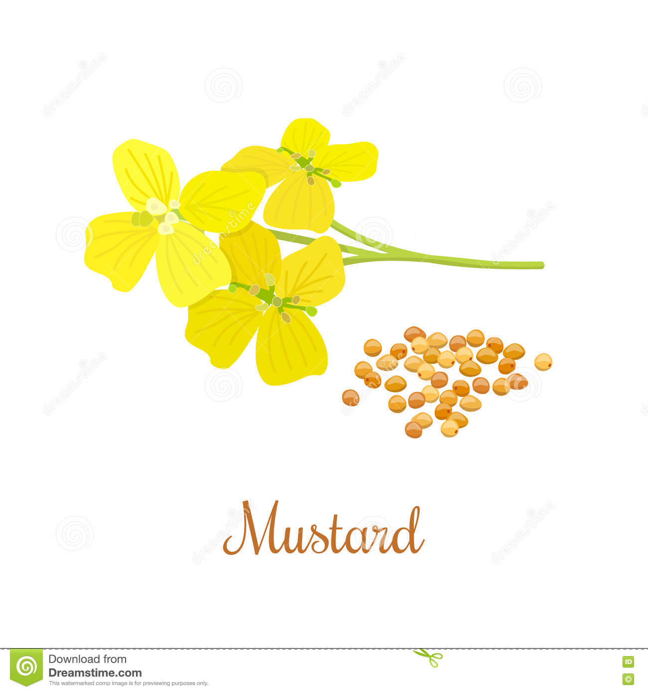 Mustard flower and seeds stock image. Image of floral - 79596807