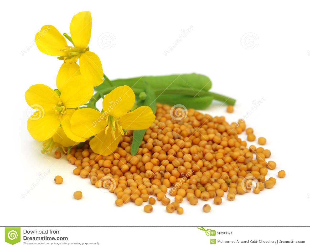 Mustard flower with seeds stock image. Image of background ...