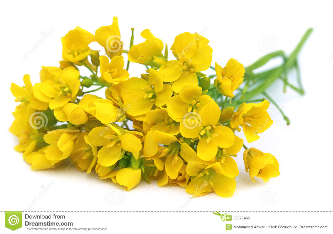 Mustard Flowers Royalty Free Stock Photo - Image: 36029465