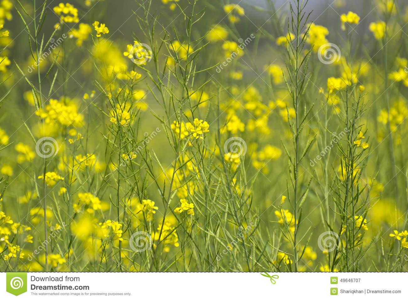 Yellow mustard flowers stock image image of background 49646707 yellow mustard flowers mightylinksfo