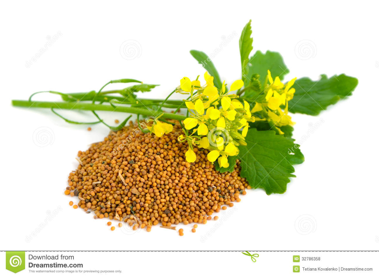 Collection Of Mustard Vector Illustrations: Mustard Seeds, Flower,..  Royalty Free Cliparts, Vectors, And Stock Illustration. Image 136814789.