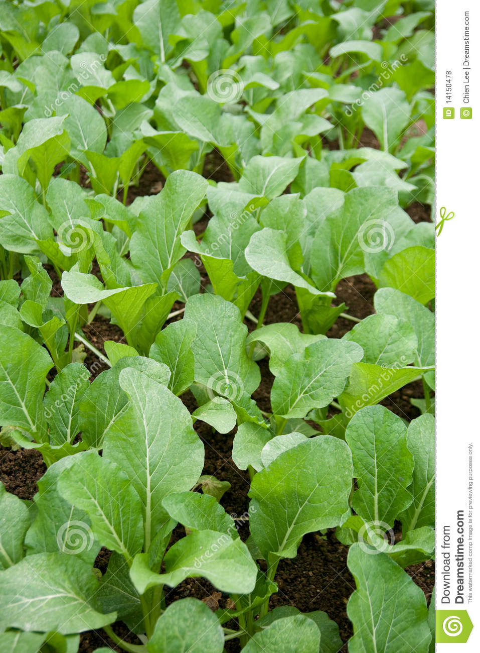 how to grow mustard plant at home