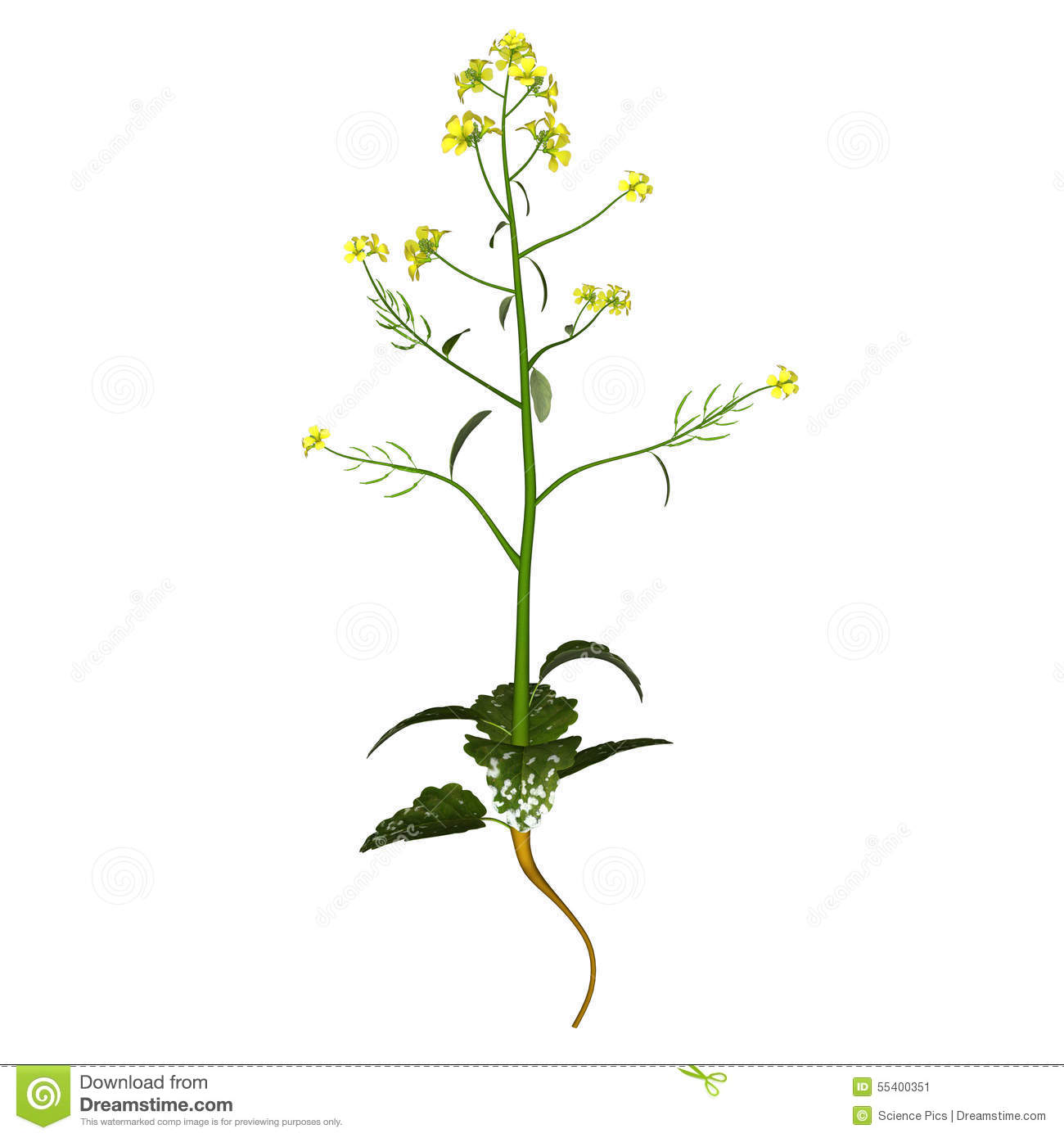 Mustard Plant Stock Illustration