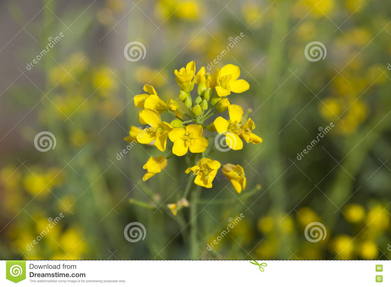 Mustard yellow flowers stock photo image of blurred 68647190 download mustard yellow flowers stock photo image of blurred 68647190 mightylinksfo