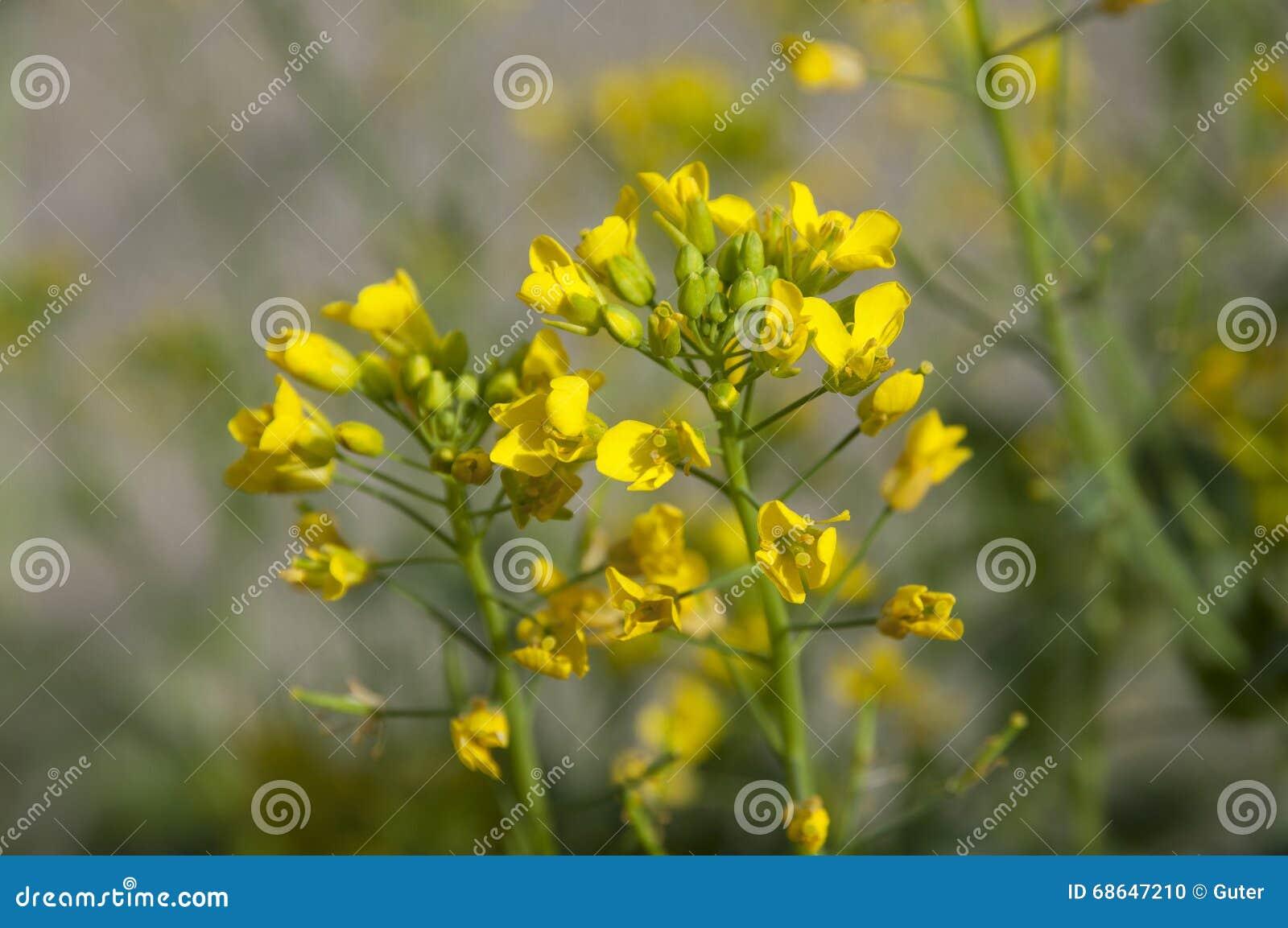Mustard yellow flowers stock photo image of blossom 68647210 close up of mustard yellow flowers mightylinksfo