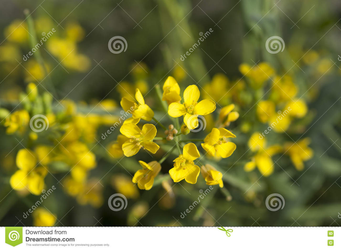 Mustard yellow flowers stock image image of wasteland 68647417 download mustard yellow flowers stock image image of wasteland 68647417 mightylinksfo