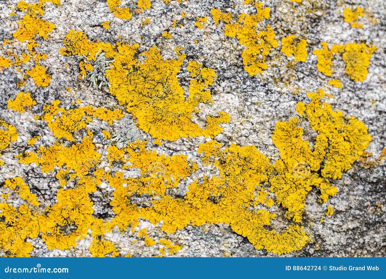 Mustard Yellow Saxilocous Caloplaca Moss Or Lichen For Natural P