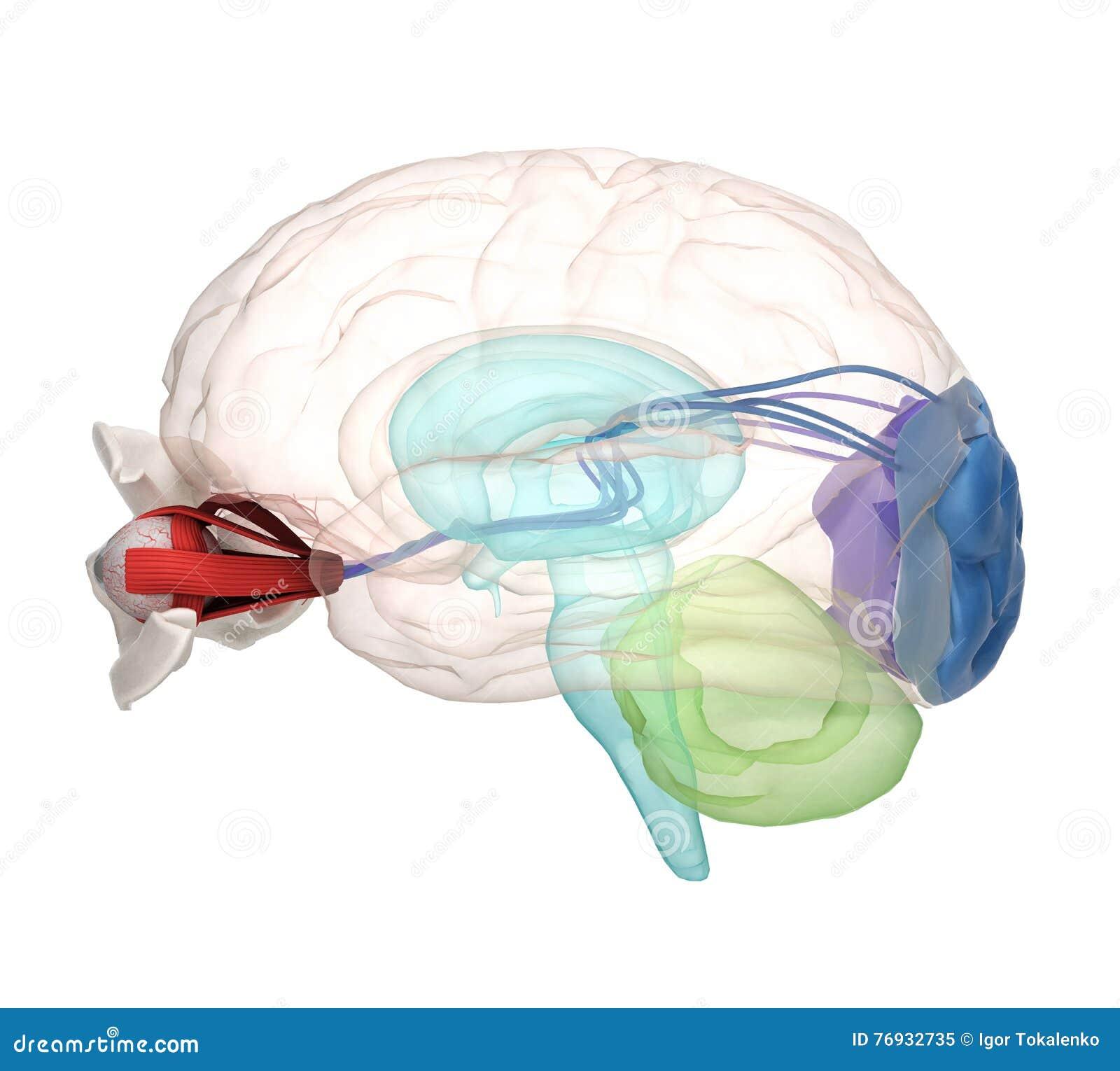 Mustern Sie Anatomie Und Struktur, Muskeln, Nerven Und Blutgefäße ...