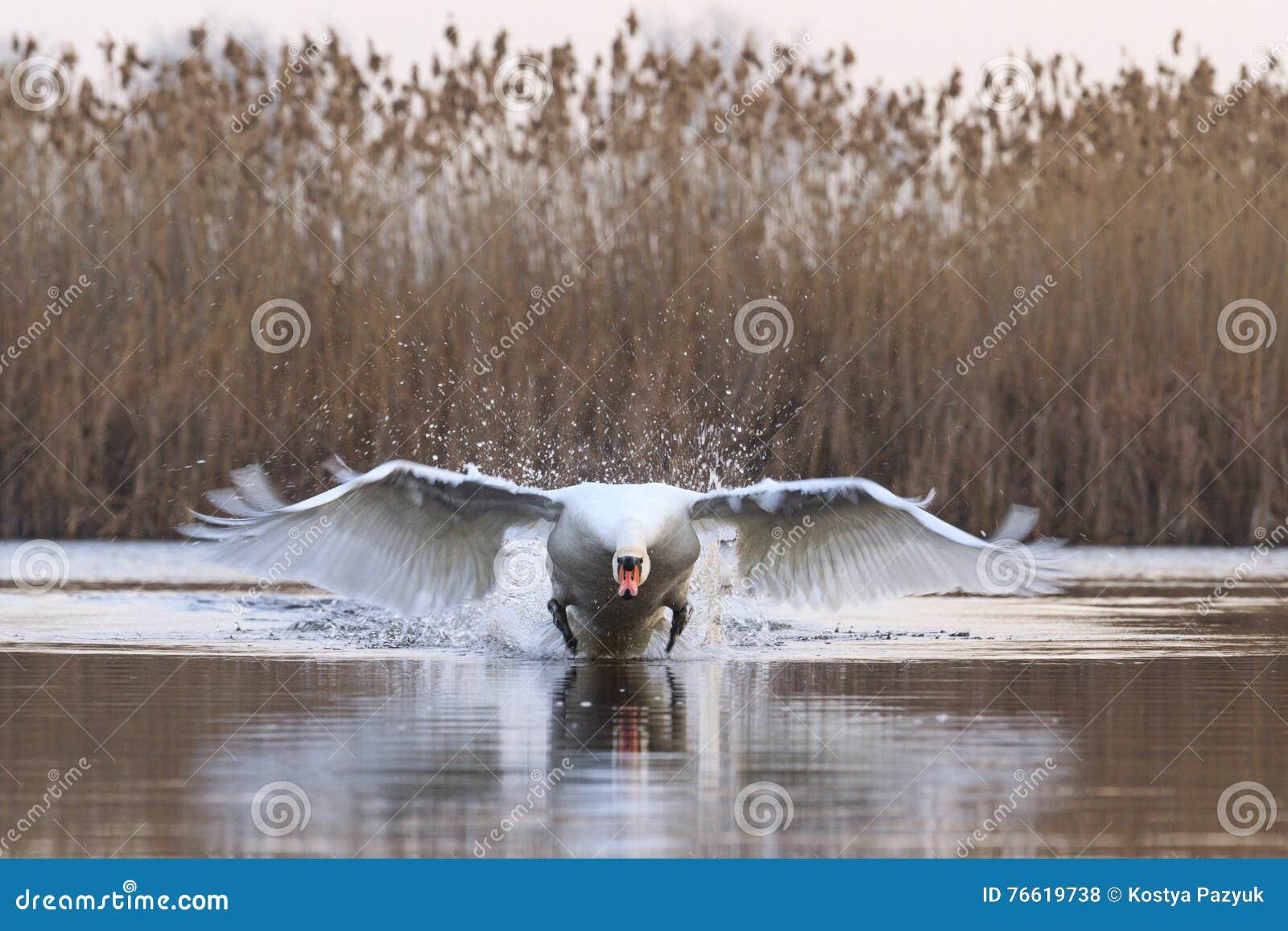 Mute swan accelerates tremendous speed