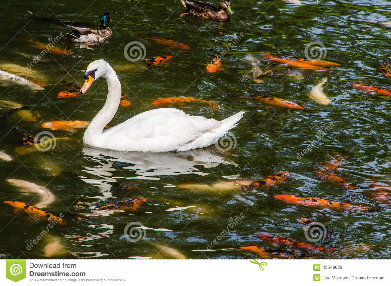Swan with koi fish swimming in pond stock image for Dream of fish swimming