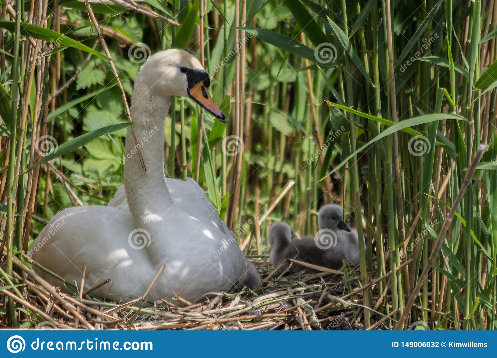 Young parent taking care of the cygnets in the nest