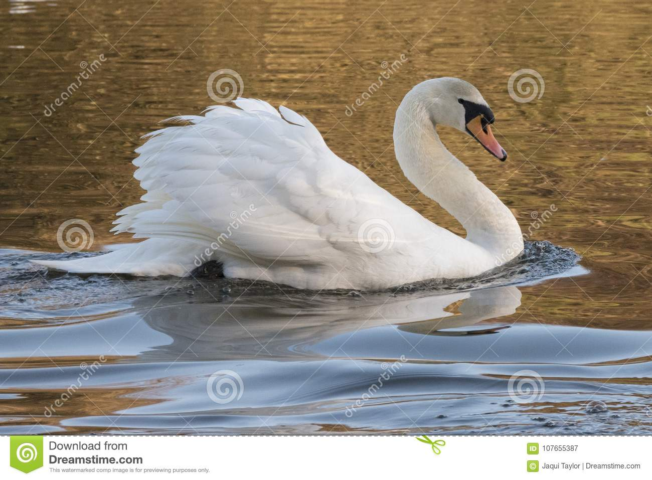 A mute swan on the Ornamental Pond, Southampton Common
