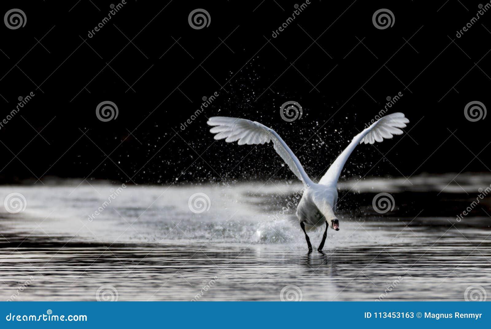 officiella foton första kurs varm försäljning Mute Swan Performing In Swanlake Stock Image - Image of sverige ...
