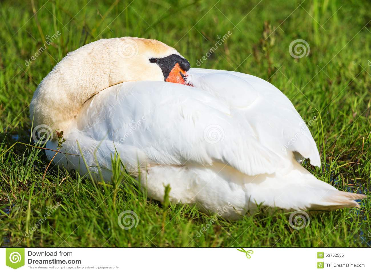 The Sleeping Swans >> Mute Swan Sleep Stock Image Image Of Vegetation Grass 53752585