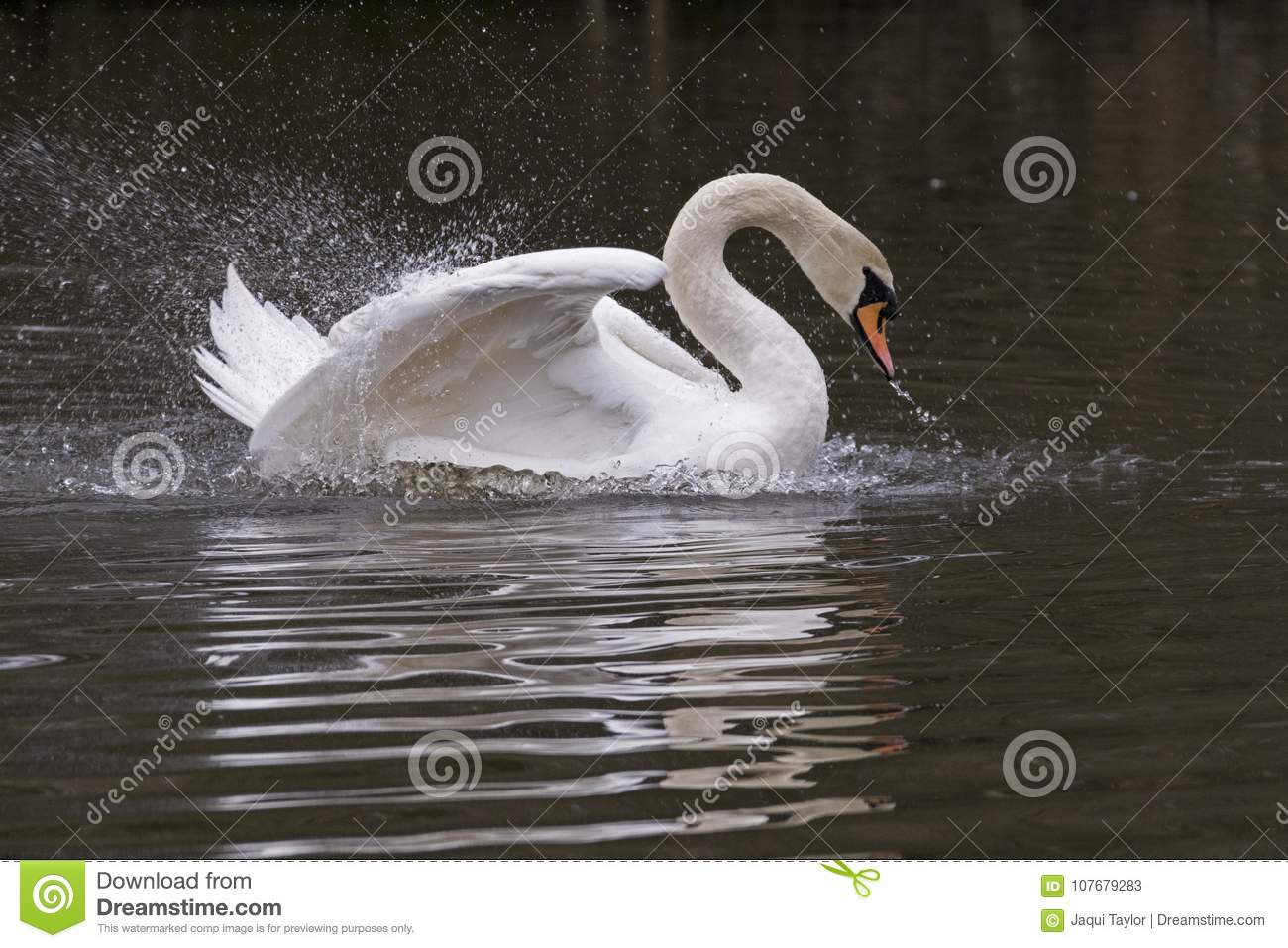 A mute swan splashing in the early morning on Southampton Common