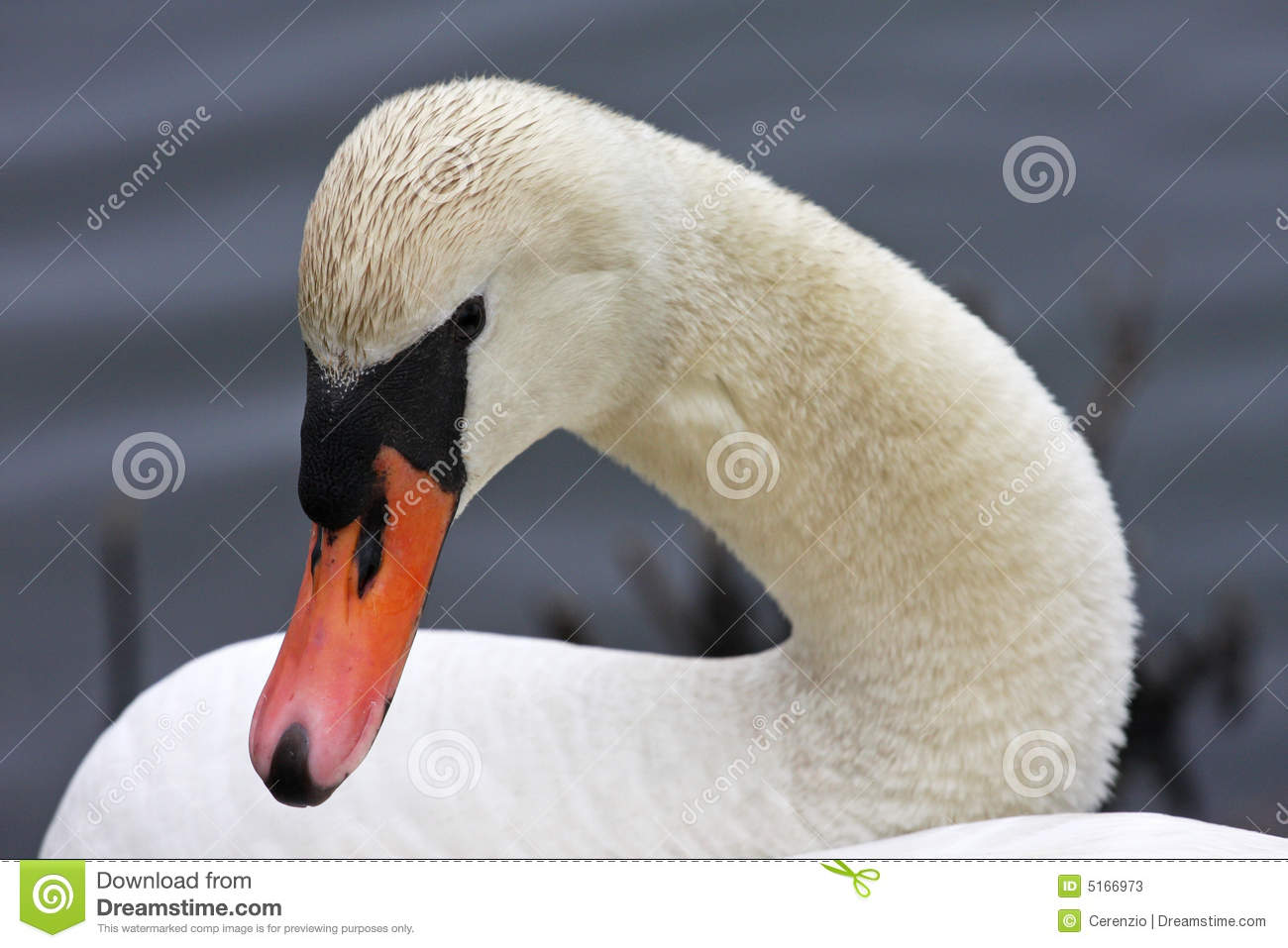Mute Swans head and neck