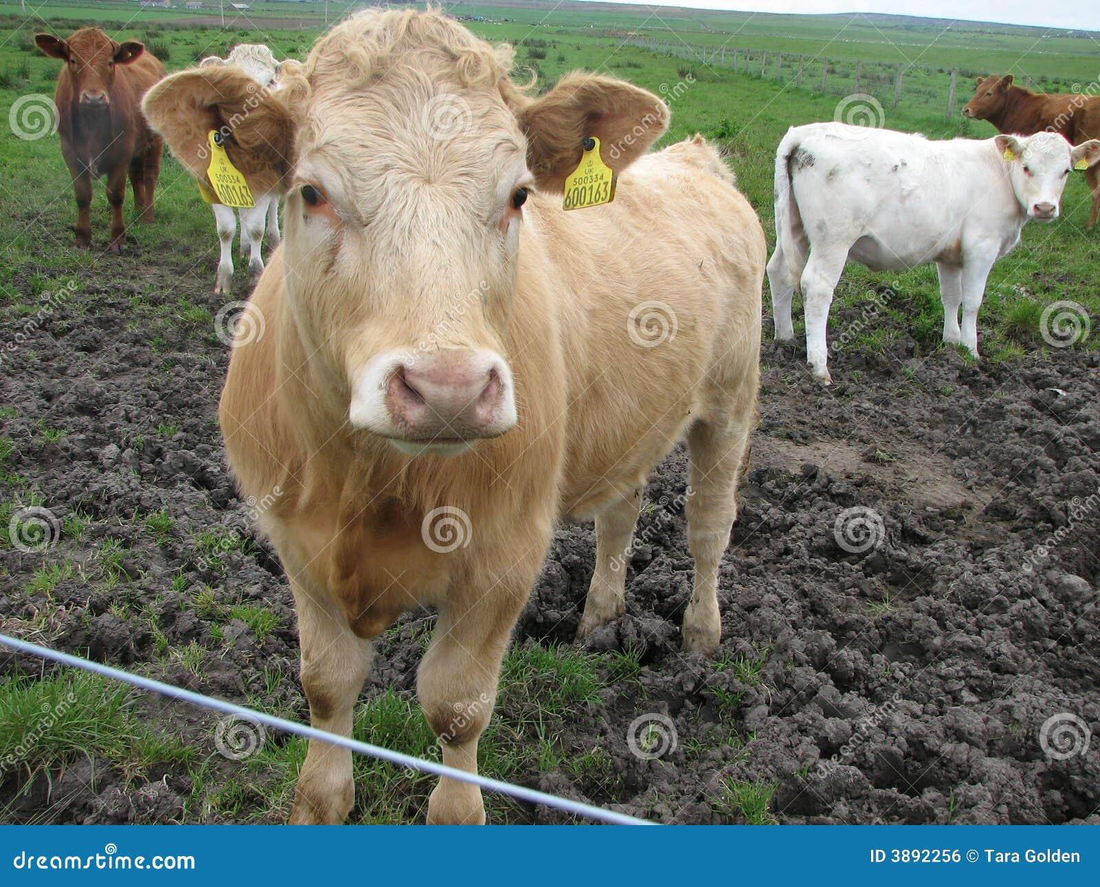 Mutli-colored Scottish cows