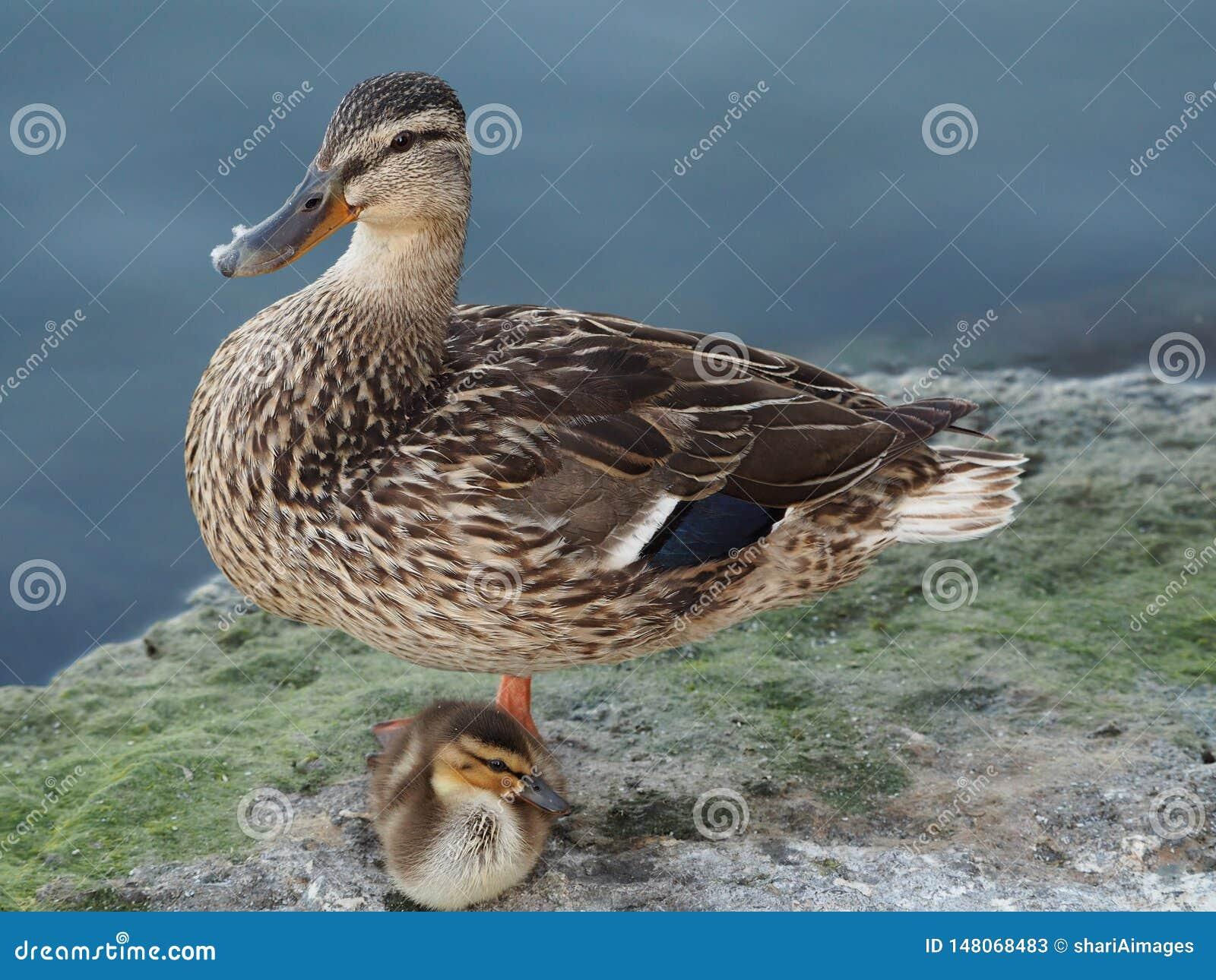 Mutter und Entlein, die auf dem Ufer stillstehen