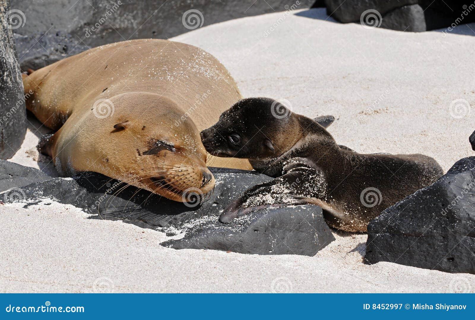 Mutter- und Schätzchenseelöwen küssen