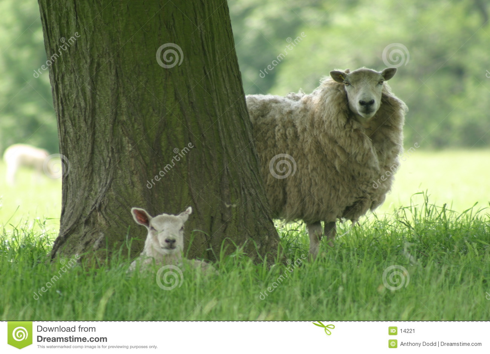 Mutterschaf und Lamm