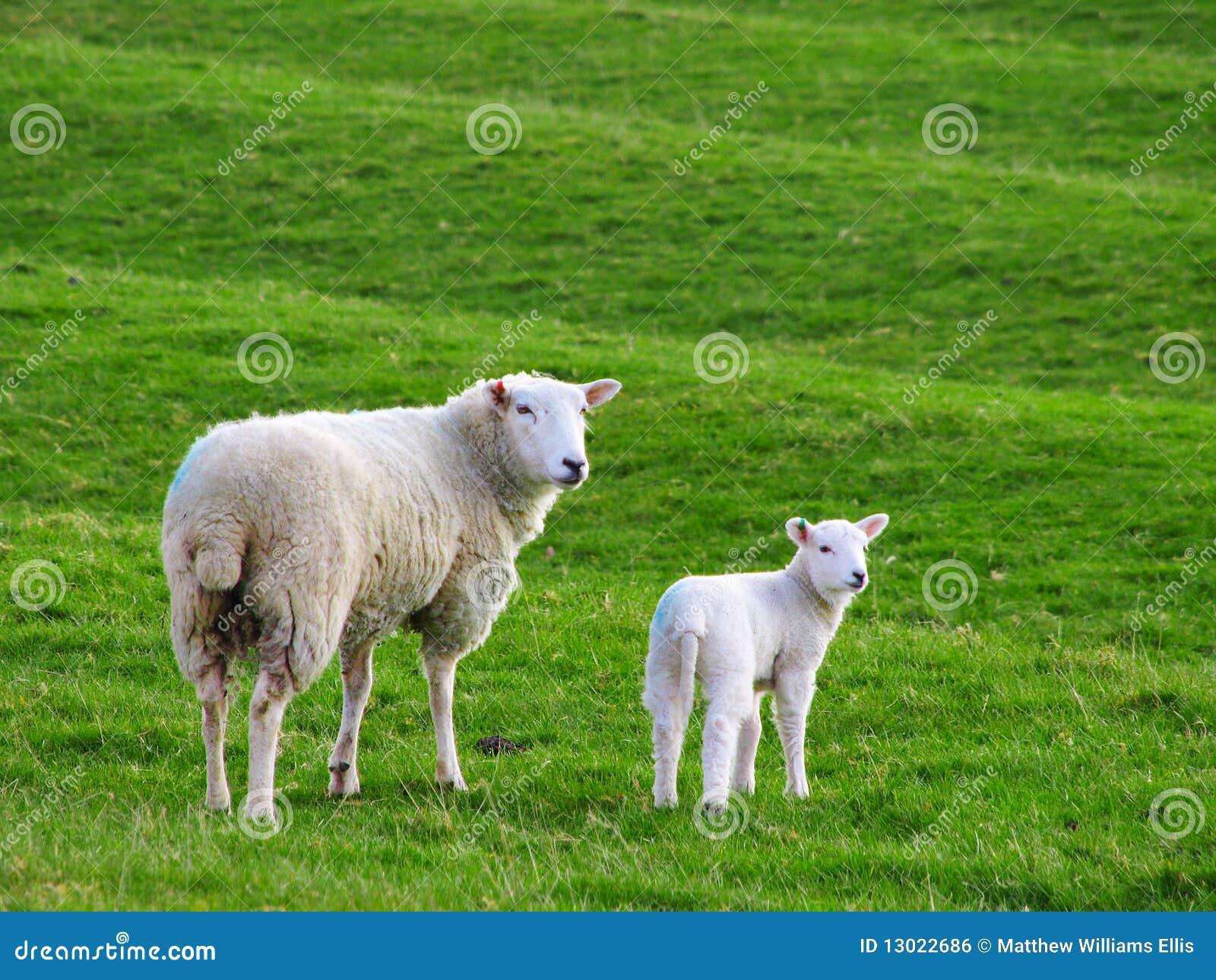 Mutterschafe und Schätzchen-Lamm