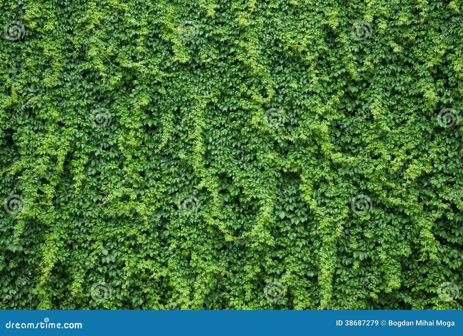 Muur met groene klimopbladeren
