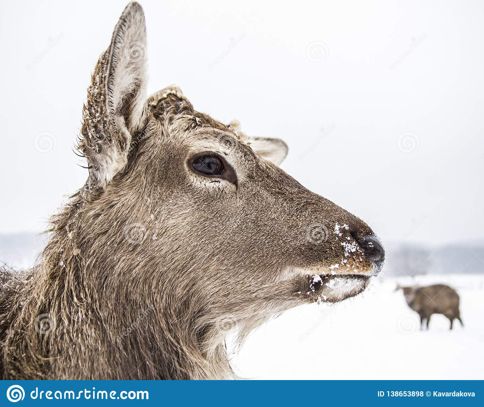 Muzzle animal deer of the winter forest